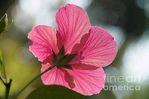 Back lit hibiscus flower by Kiran Joshi