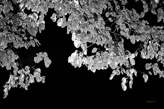 Back-lit Leaves Grayscale by Brian Wallace
