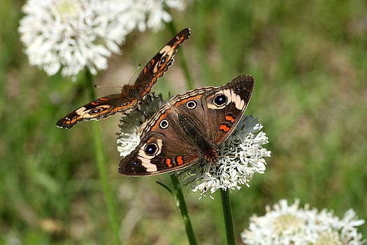 Back to Back Butterflies by Sheila Brown
