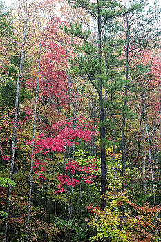 Background of evergreen and autumn leaves in red and yellow by Natalie Schorr