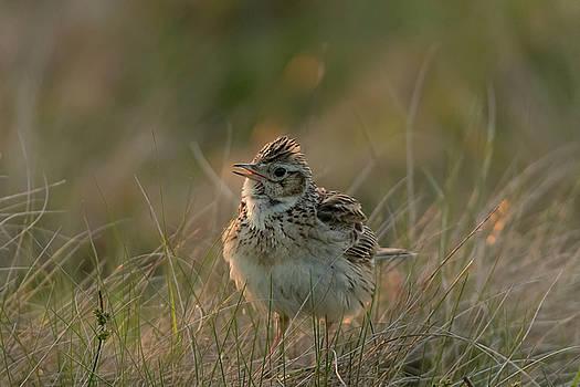 Darren Wilkes - Backlit  Eurasian Skylark