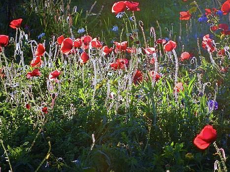 Backlit Poppies by Nik Watt
