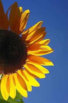 Gaspar Avila - Backlit sunflower