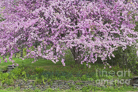 Backyard Flowering Crabapple by Alan L Graham