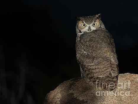 Backyard Owl by Bryan Keil