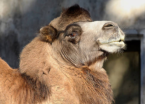 Venetia Featherstone-Witty - Bactrian Camel Portrait
