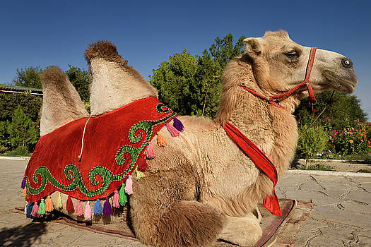 Reimar Gaertner - Bactrian camel with decorative saddle for rides at Hodja Ahmed Y
