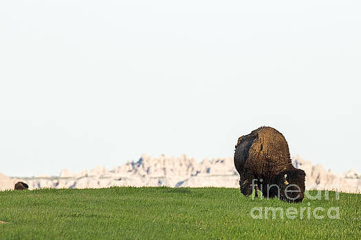 Badlands Bison by Natural Focal Point Photography