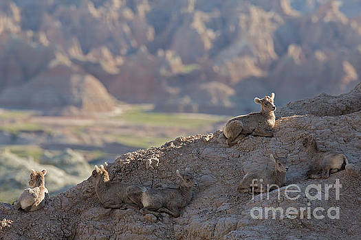 Badlands Lamb Rest Time by Natural Focal Point Photography