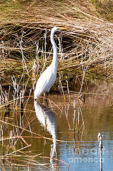 Bob Phillips - Bailey Tract Egret One