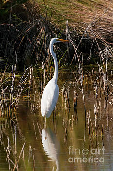 Bob Phillips - Bailey Tract Egret Two