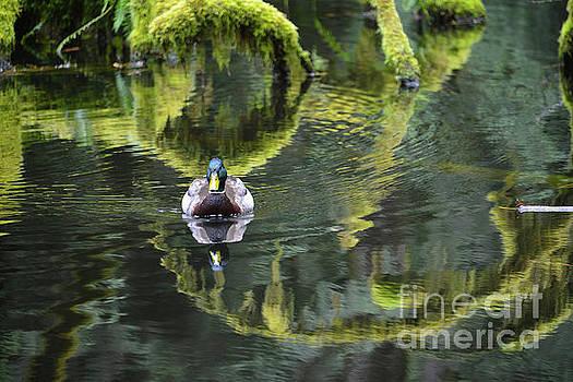 Bainbridge Duck by Bob Senesac