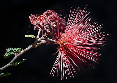 Baja Red Fairy Duster by Desert Images