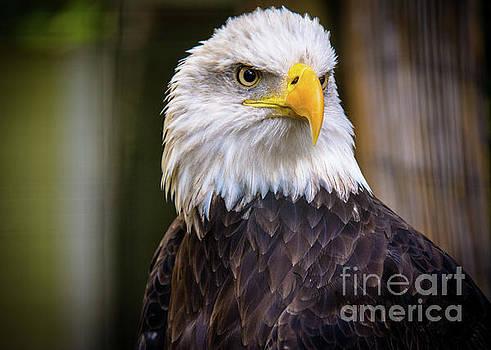 Bald Eagle by Lisa L Silva