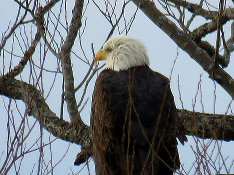Bald eagle                                                          Bald eagle                      by Dennis McCarthy