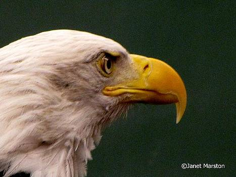 Bald Eagle 07 by Janet Marston