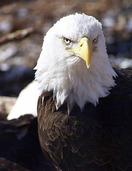 Marty Koch - Bald Eagle 1