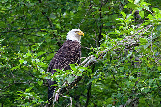 Bald Eagle 2 by Anthony Jones