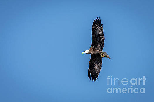 Bald Eagle 2 by Patrick Shupert