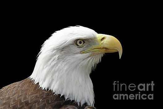 Bald Eagle #2 V2 by Judy Whitton
