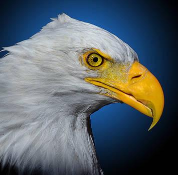 Bald Eagle 3 by Brian Stevens