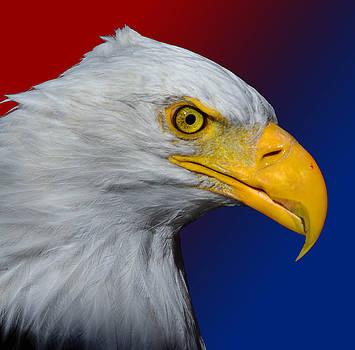 Bald Eagle 4 by Brian Stevens