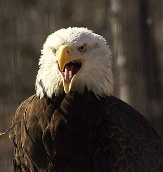 Marty Koch - Bald Eagle 4