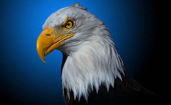 Bald Eagle 5 by Brian Stevens
