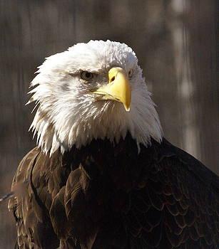 Marty Koch - Bald Eagle 5