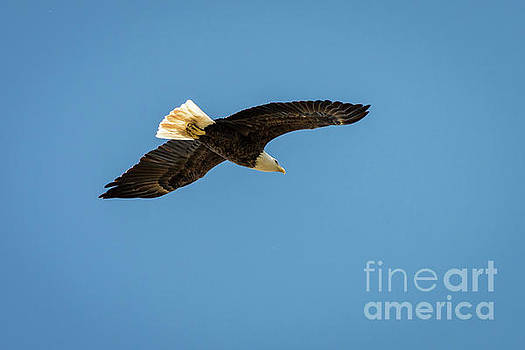 Bald Eagle 5 by Patrick Shupert