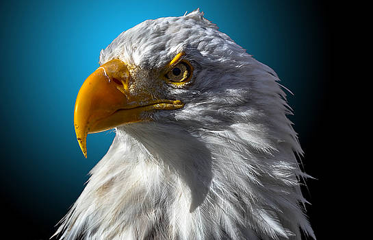 Bald Eagle 6 by Brian Stevens