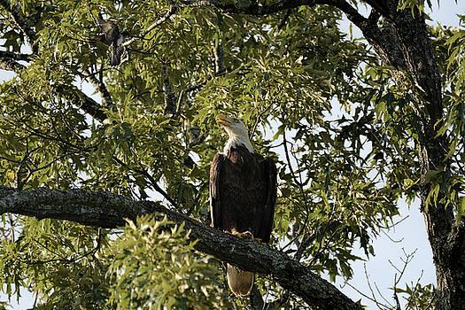 Bald Eagle and Eastern Kingbird Shiloh TN 052620156620 by WildBird Photographs