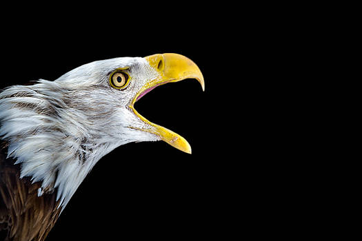 Bald Eagle by Ashleigh Mowers