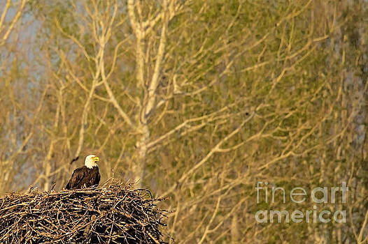 Bald Eagle At Home by Natural Focal Point Photography