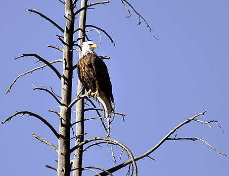 Bald Eagle at Yellowstone by Jennifer Ferrier