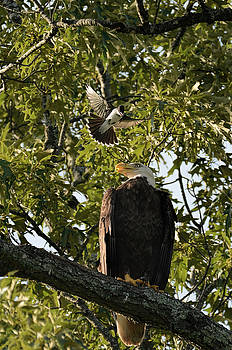 Bald Eagle Being Attacked By Eastern Kingbird 052620156630 by WildBird Photographs