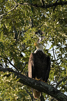 Bald Eagle Being Attacked By Eastern Kingbird Shiloh TN 052620156614 by WildBird Photographs