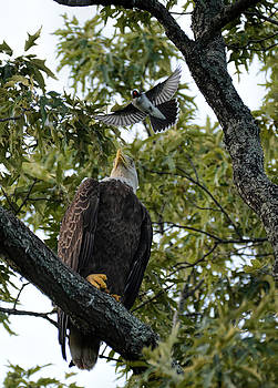 Bald Eagle Being Attacked by Eastern Kingbird Shiloh TN 052620156727 by WildBird Photographs