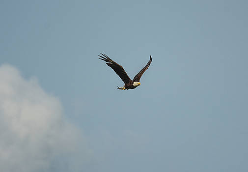 Bald Eagle Bringing Fish In From The River Shiloh Tennessee 052620156443 by WildBird Photographs