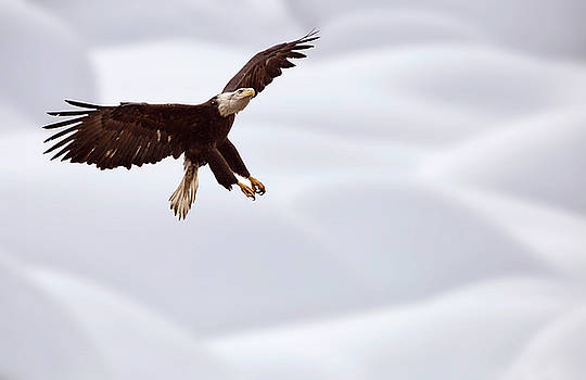 Bald Eagle British Columbia in flight by Mark Duffy