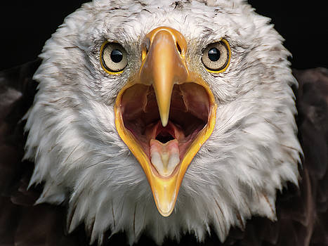 Bald Eagle Calling by Eyeshine Photography