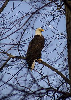 Bald Eagle by Cassandra NightThunder
