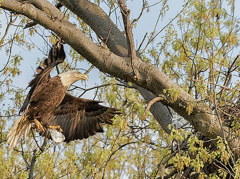 Bald Eagle Catch of the Day  by Richard Kopchock