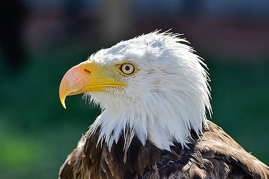 Bald Eagle Closeup by Dwayne Schnell