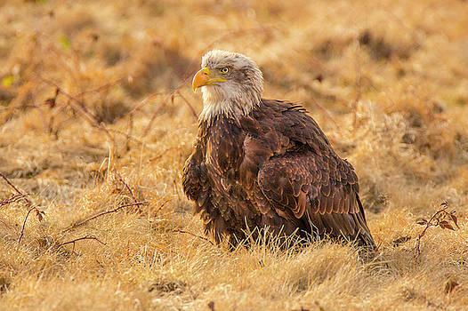 Bald Eagle by David Hare