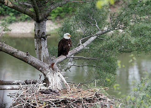 Bald Eagle by David Simons