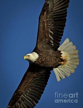 Bald Eagle by Douglas Stucky