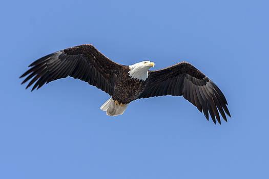Bald Eagle Flight 1 by Liza Eckardt