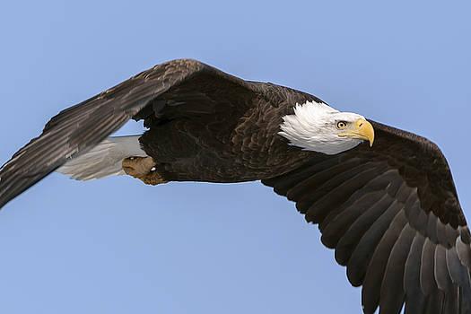 Bald Eagle Flight 2 by Liza Eckardt