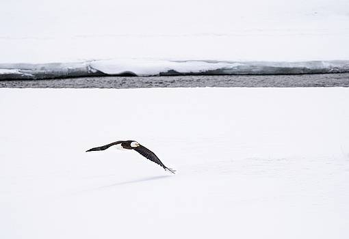 Bald Eagle Fly By by Brad Scott